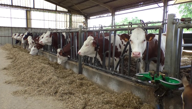 Feeding Lien vers: DairyCowFeeding
