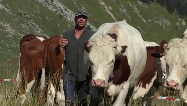Herding Lien vers: DairyCowHerding