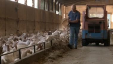 Feeding Lien vers: DairyGoatFeeding