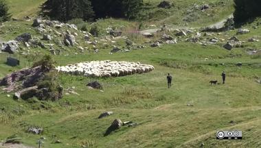 Herding Lien vers: MeatSheepHerding