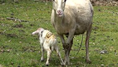 Lambing Lien vers: MeatSheepLambing